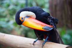 Colorful tucan. In the wild royalty free stock photos