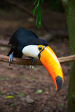 Colorful tucan. In the wild stock photo