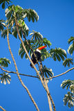 Colorful tucan. In the wild stock photography