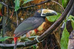 Colorful tucan in the wild. Long shot of colorful tucan in the wild, camouflage stock photo