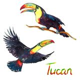 Colorful Tucans flying and sitting on branch, birds collection. Set isolated hand painted watercolor illustration with handwritten inscription Royalty Free Stock Photos