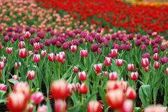 Colorful tulip-2. Tulip grows large colorful cup-shaped flower in spring Stock Photos
