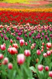 Colorful tulip-3 Royalty Free Stock Photo