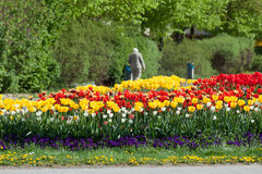 Colorful tulip bed Royalty Free Stock Images