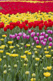 Colorful tulip Royalty Free Stock Images