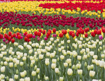 Colorful tulip Stock Photography