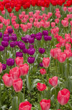 Colorful tulip Stock Images