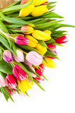 Colorful tulip blooms Stock Photo