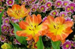 Colorful Tulip blossom Stock Photo