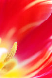 Colorful tulip close up. Red petal background. Shallow depth of Royalty Free Stock Photos
