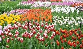 Colorful Tulip Exhibition Stock Image