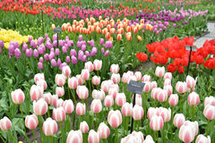 Colorful Tulip Exhibition Royalty Free Stock Photography