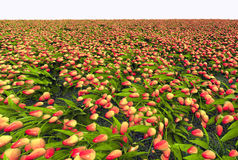 Colorful tulip field. Realistic 3d illustration of yellow and red tulip field receding into distance Royalty Free Stock Photography