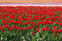 Colorful Tulip Field Background. Bands of various colored tulips (red predominant) in a field fill the frame stock image