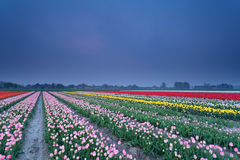 Colorful tulip field in dusk Royalty Free Stock Photos