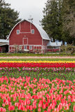 Colorful tulip field and farmer barn Royalty Free Stock Photo