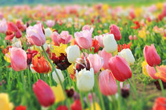Colorful tulip field, gradient sharpness Royalty Free Stock Photos