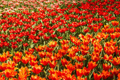 Colorful tulip field Royalty Free Stock Photos