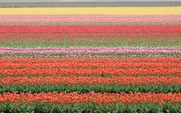 Colorful tulip field, netherlands Stock Images