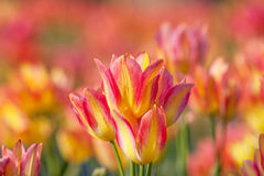 Colorful tulip field orange in botany garden Stock Photos