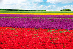 Colorful tulip field rows during sunny day Royalty Free Stock Image