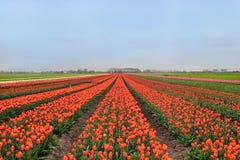 Colorful Tulip Field Stock Photos