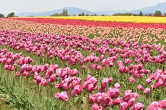 Colorful Tulip Field at Skagit Valley Tulip Festival in 2019. Picture of colorful tulip field at Roozengaarde in Mount Vernon, WA royalty free stock photos