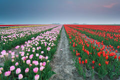 Colorful tulip field at sunset Royalty Free Stock Photography
