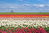 Colorful tulip fields in Alkmaar,  North Holland Royalty Free Stock Photo