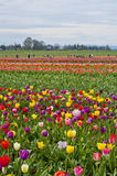 Colorful tulip fields in bloom Royalty Free Stock Photography