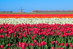 Colorful tulip fields and Dutch windmill royalty free stock images