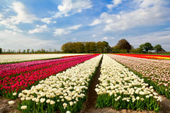 Colorful tulip fields and farmhouse in Alkmaar Royalty Free Stock Image