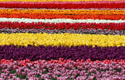 Colorful tulip fields, multicolored stripes Royalty Free Stock Photography