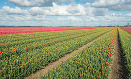 Colorful tulip fields in springtime Royalty Free Stock Photo