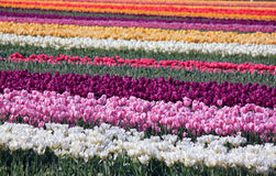 Colorful Tulip Fields in Springtime Stock Photography