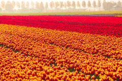 Colorful tulip fields in summer time, Netherlands Stock Photo