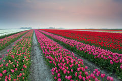 Colorful tulip fields at sunset. Netherlands Stock Photo