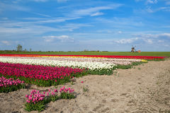 Colorful tulip fields and windmill in Alkmaar Stock Photos
