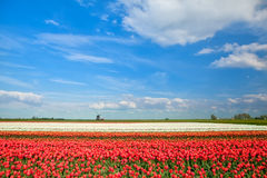 Colorful tulip fields and windmill in spring Stock Image