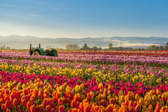 Colorful tulip filed in the morning, Woodburn, Oregon Royalty Free Stock Photos