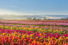 Colorful tulip filed in the morning, Woodburn, Oregon Stock Images