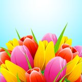 Colorful Tulip Flower Stock Photography