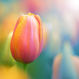 Colorful tulip flower background royalty free stock images