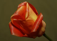 Colorful Tulip flower in bloom. Colorful red and yellow tulip flower in bloom, isolated on plain background Stock Images