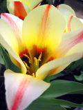 Colorful tulip Royalty Free Stock Photos