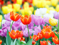 Colorful tulip flower Royalty Free Stock Photo