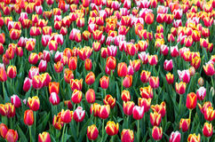 Colorful tulip flower fields blooming Stock Image
