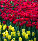 Colorful tulip flower fields blooming Royalty Free Stock Images