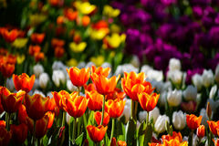 Colorful tulip flower garden Stock Images
