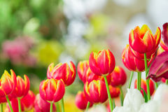 Colorful of tulip flower with nature background Stock Image